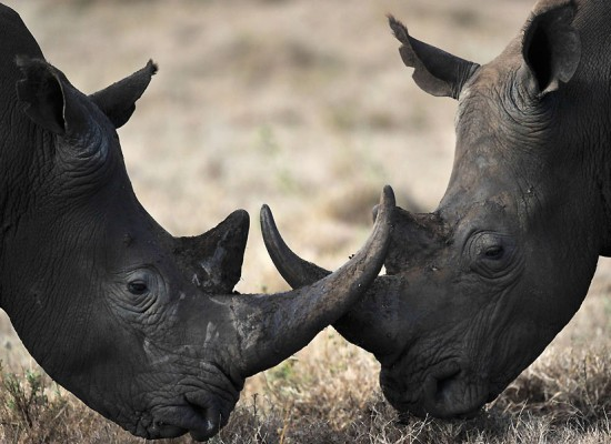 Rhino Poaching Suspects Arrested In Kruger National Park