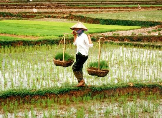 Vietnamese Rice Farmers Battle Rat Infestation