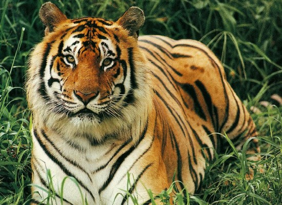 Tiger Population In India Jumps Nearly 58% Since 2008