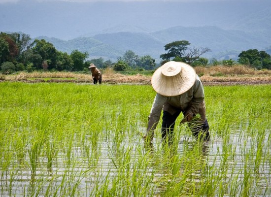 Thailand sells China 1 million tons of rice from huge stockpile
