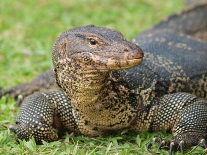 Video: Water Monitor Lizard Spotted Wading Through Sewers of Bangkok