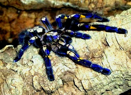 Meet the Thai tarantula which could make your TV better