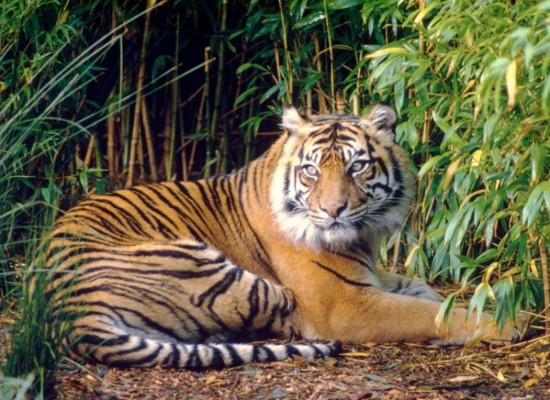 Tigers on the Rebound in Thailand
