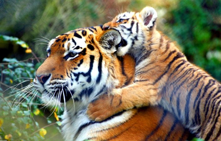 Global tiger population increases first time in 100 years