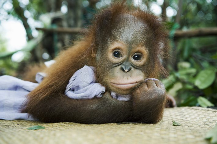 Alarmed conservationists warn that Borneo's orangutan is on the verge of extinction