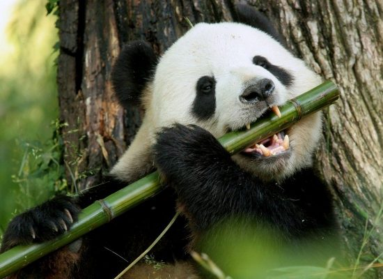 Giant pandas are no longer endangered in China