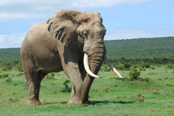 The Economic Costs Of Elephant Poaching