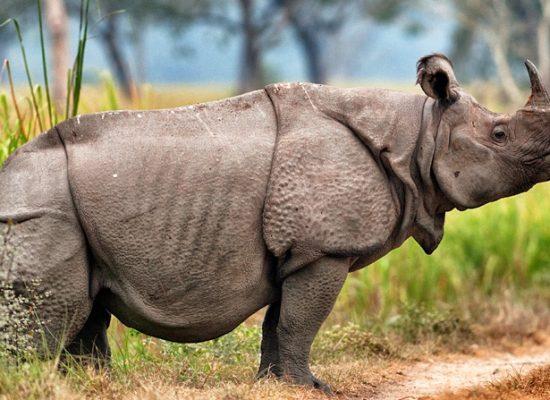 Saving Javan Rhinos – One at a time
