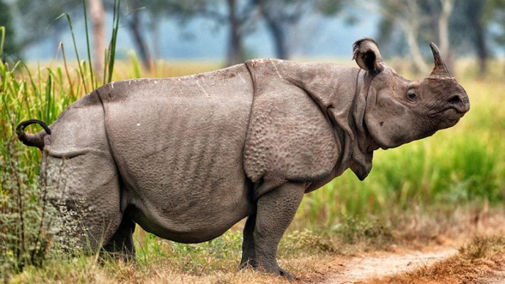 Saving Javan Rhinos – One at a time