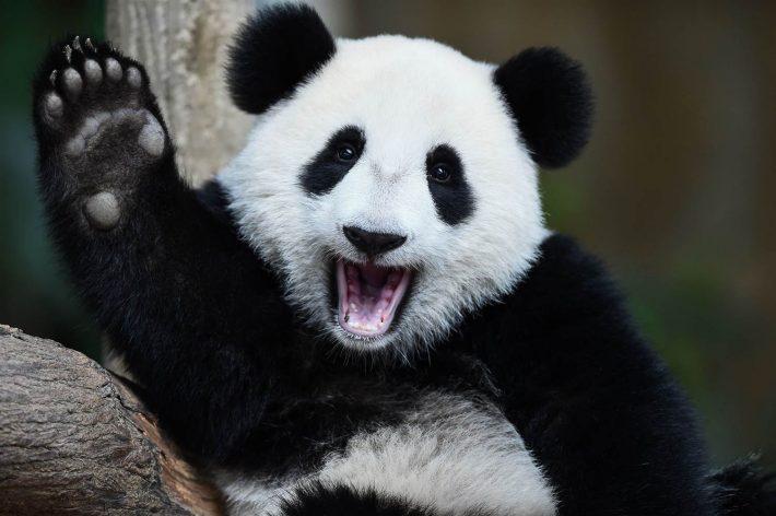 Saving pandas still a task