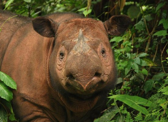 DNA Map Shows Why The Sumatran Rhino Is Almost Extinct