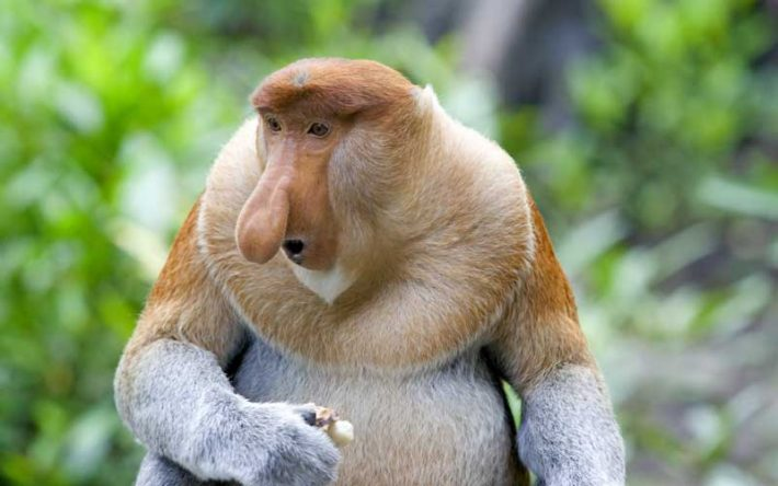 Monkeys With The Biggest Noses Get All the Girls